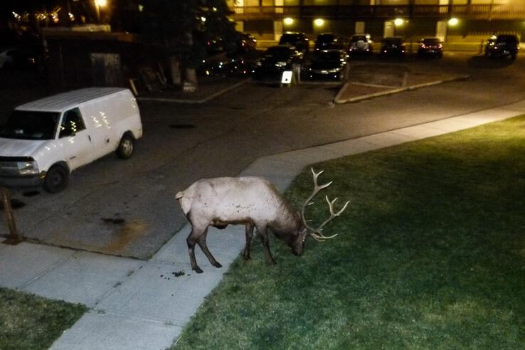 Wildlife in Canada - elk