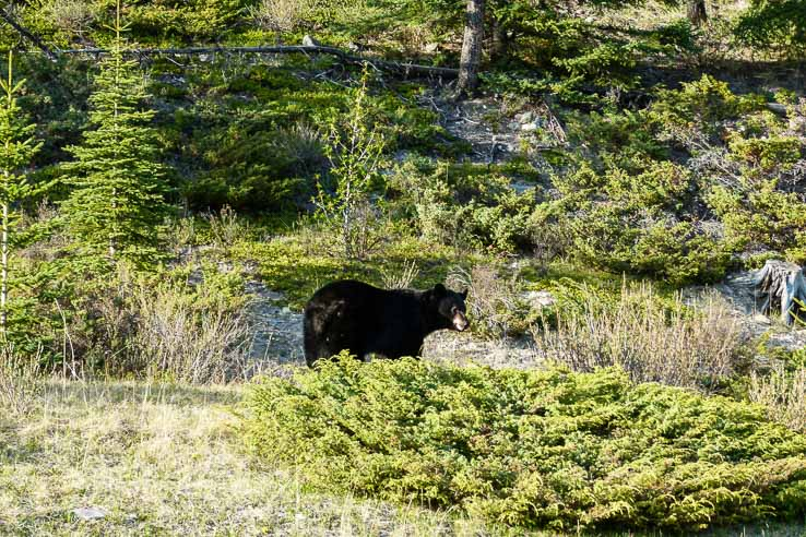 Wildlife in Canada - bear
