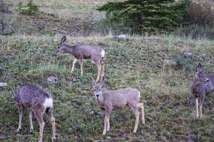 Wildlife in Canada - deer
