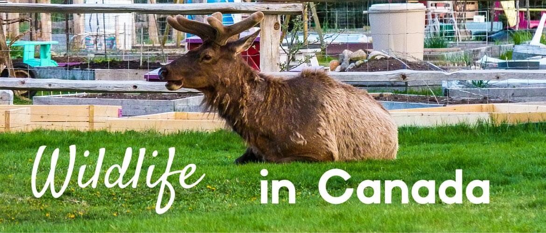 Wildlife in Canada