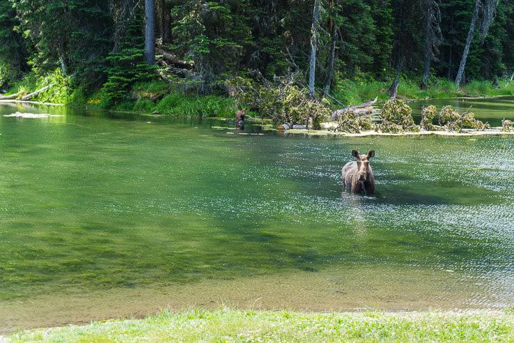 Wildlife in Canada - moose