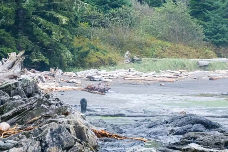 32 outdoor things to do on Vancouver Island-black-bear