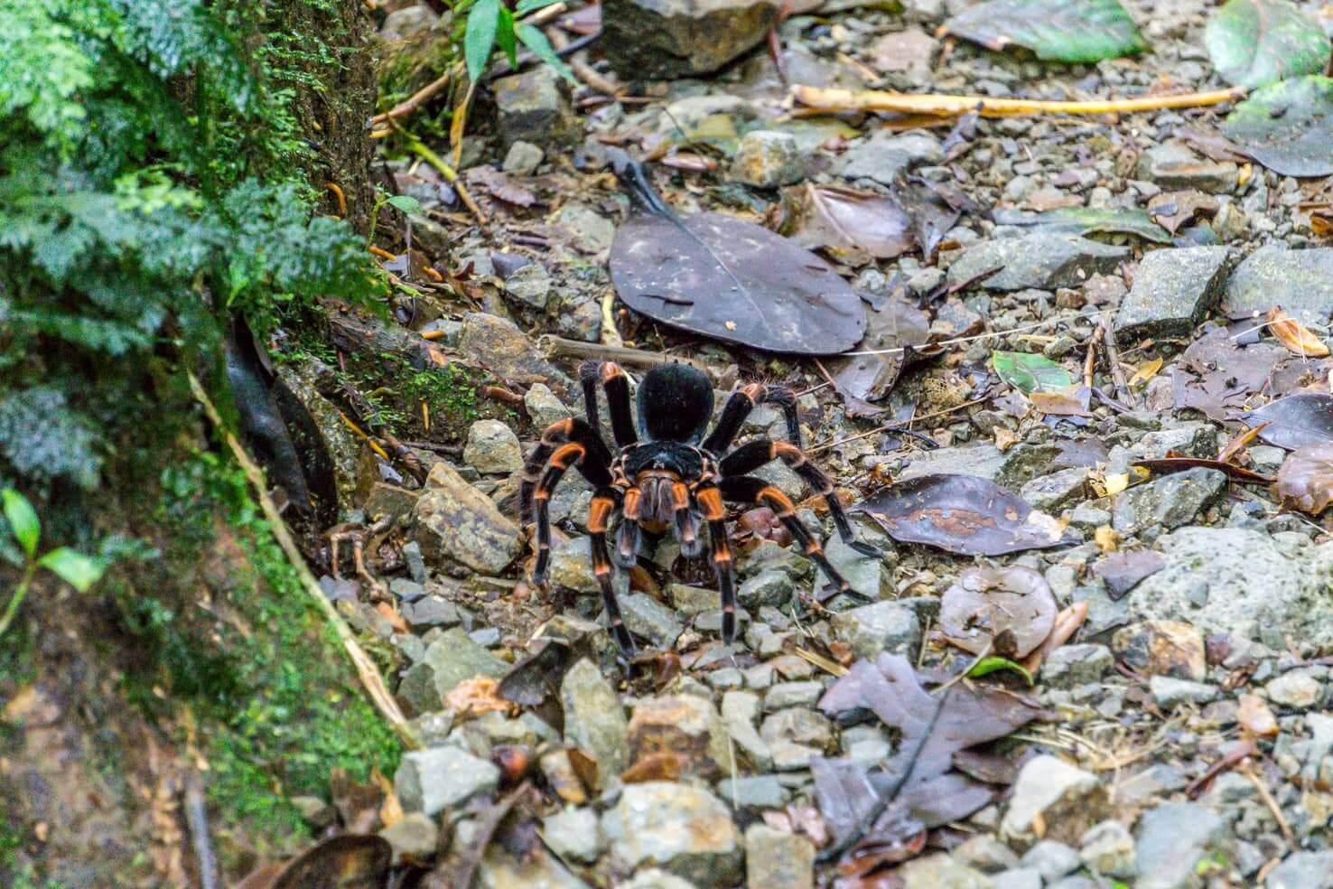 10 days in Costa Rica - tarantula in Monteverde Cloud Forest Reserve