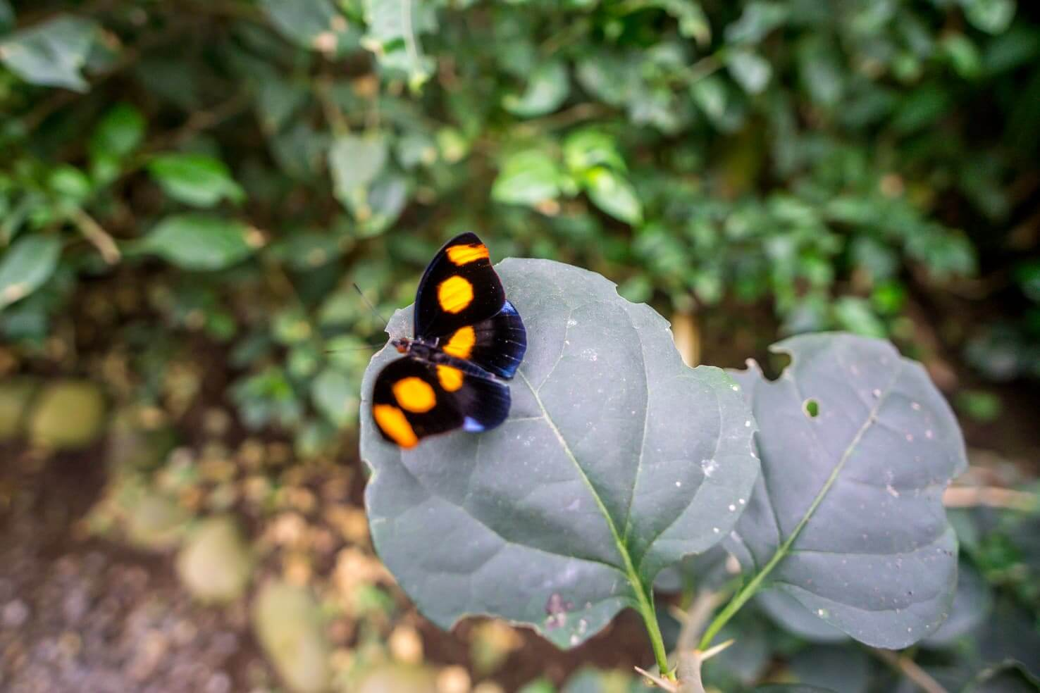 10 days in Costa Rica - butterfly in Monteverde Cloud Forest Reserve