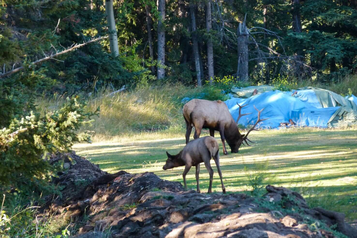 100 best things to do in Banff National Park, Canada - Play golf with elk