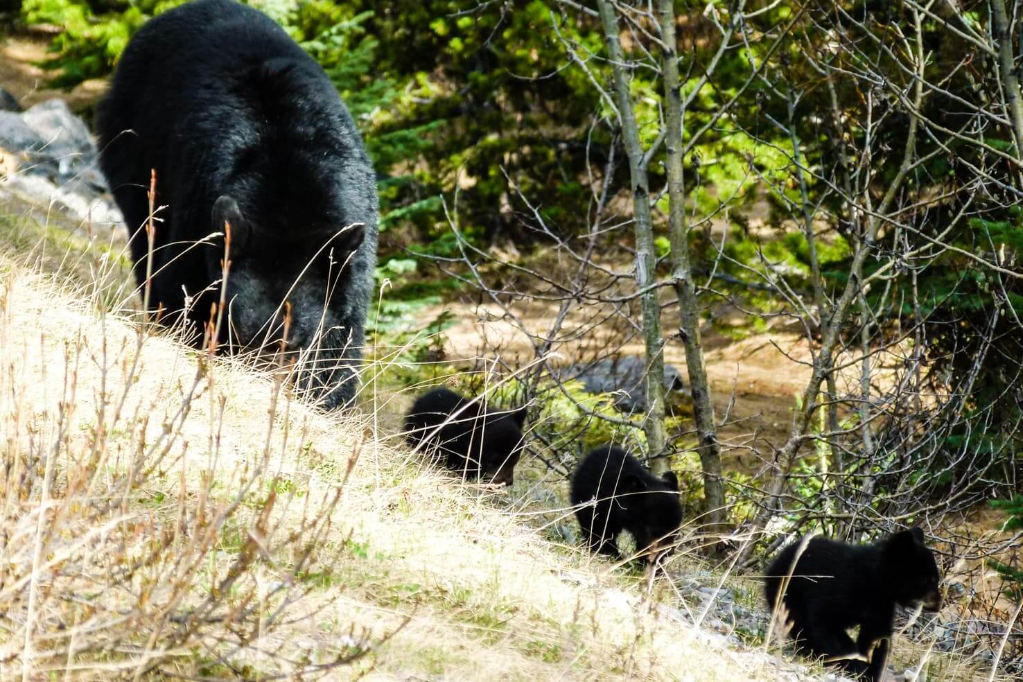 100 best things to do in Banff National Park, Canada - Watch bear cubs