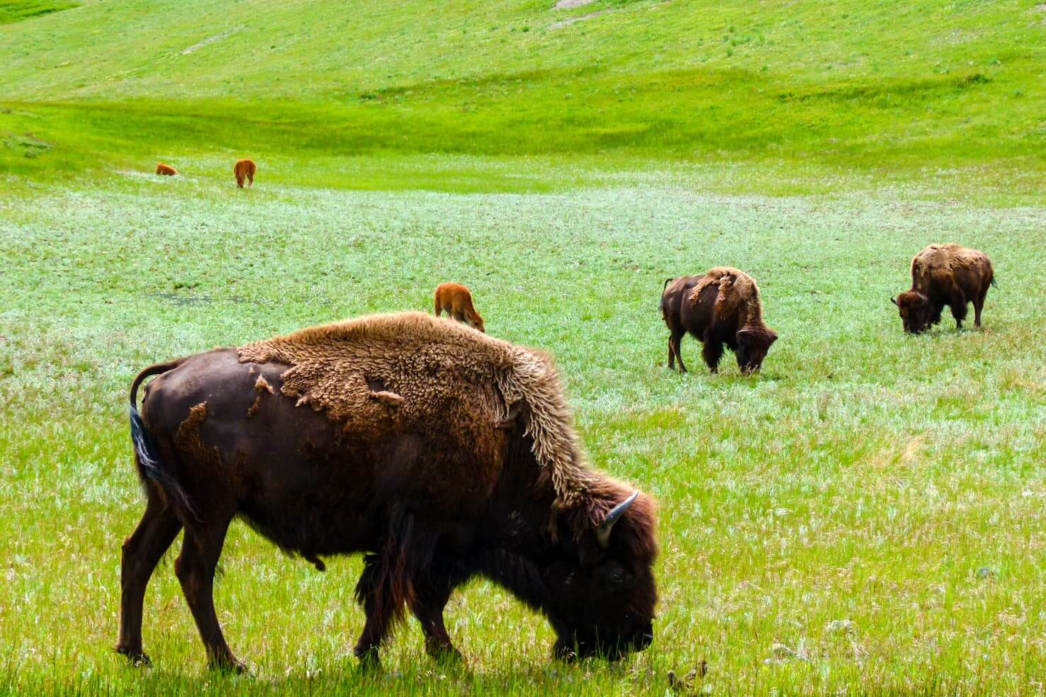 100 best things to do in Banff National Park, Canada - Welcome bison in Banff National Park