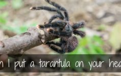 Can I put a tarantula on your head - Tarantula encounter in Venezuela