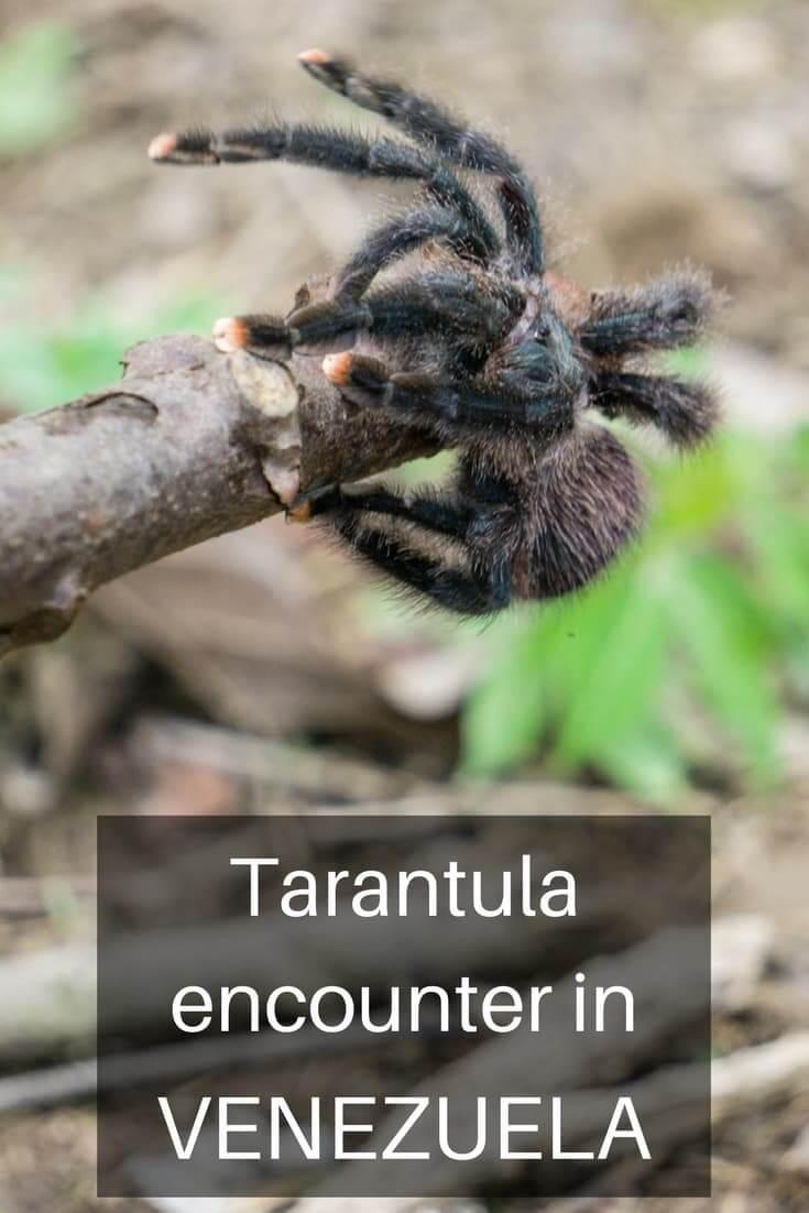 Can I put a tarantula on your head - Tarantula encounter in Venezuela