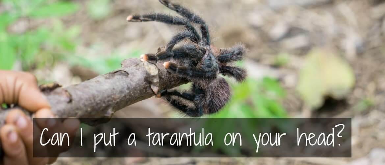 Can I put a tarantula on your head? My tarantula experience in Venezuela