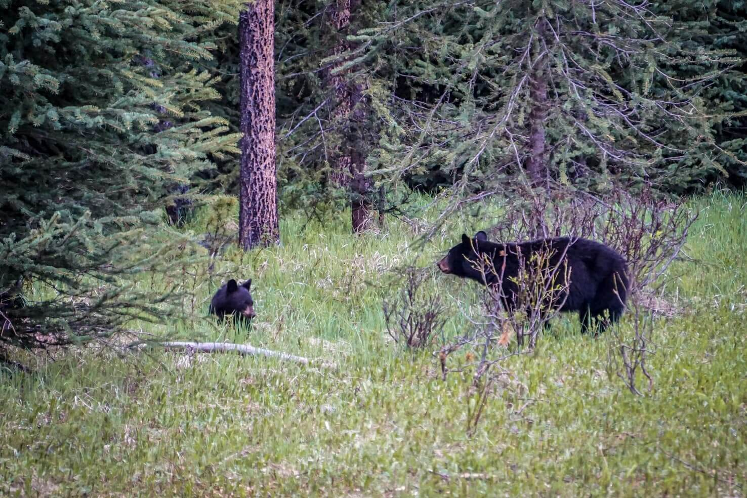 Western Canada Road Trip from Calgary to Vancouver - bears in Jasper