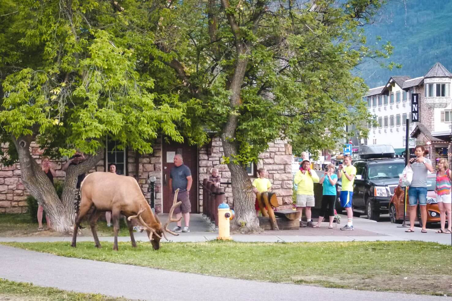 Adventure travel guide to Jasper National Park - elk in Jasper