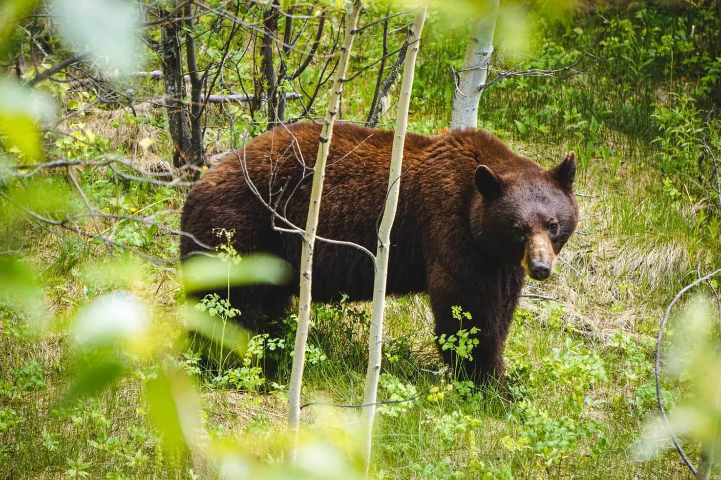 Adventure travel guide to Jasper National Park - Cinnamon bear in Jasper
