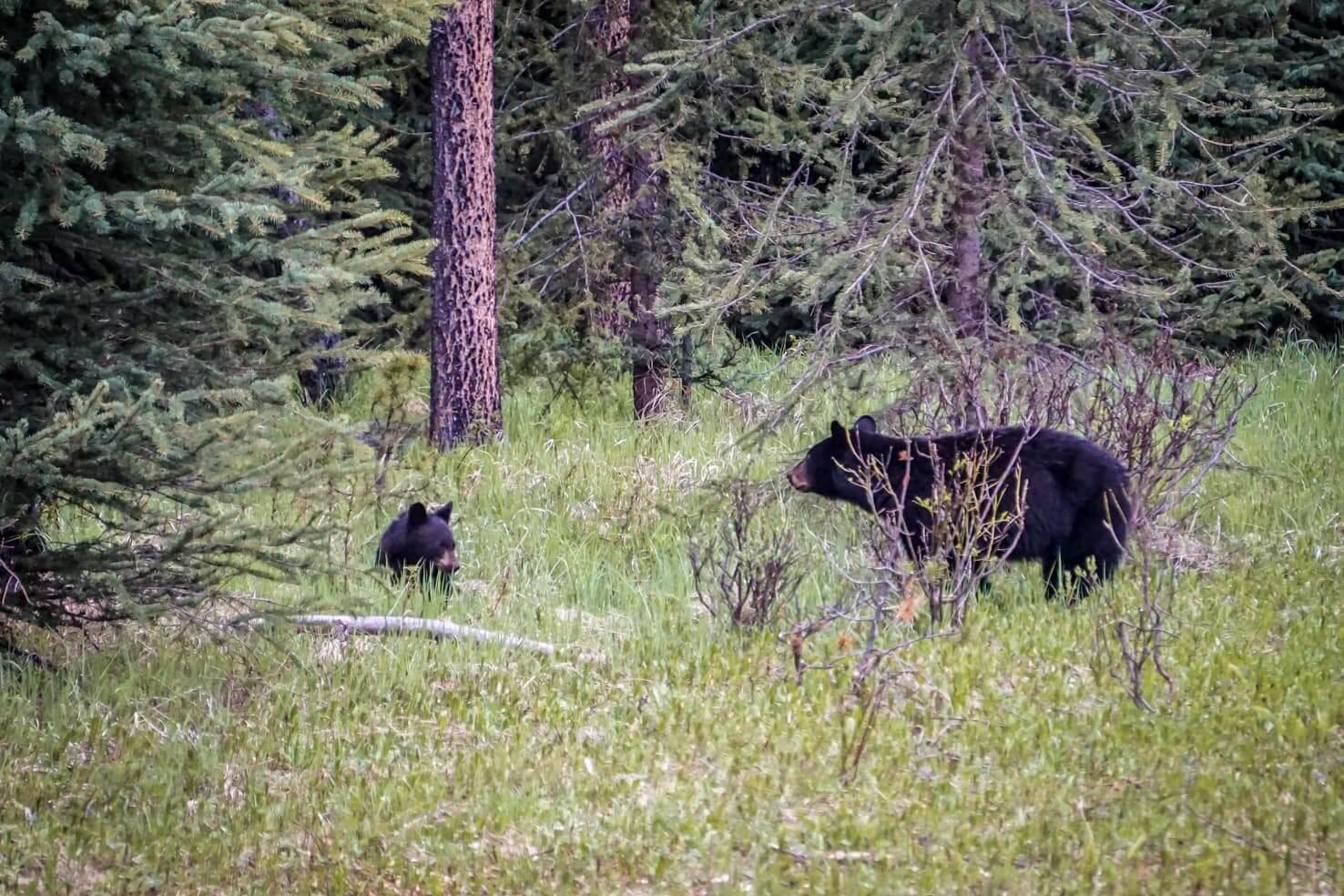 Adventure travel guide to Jasper National Park - mama bear and a cub