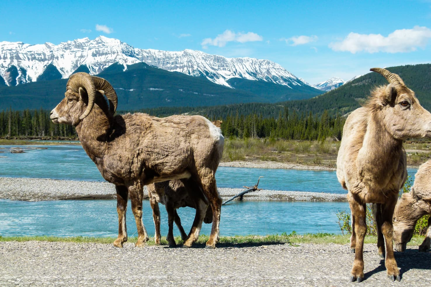 Things to do in Jasper National Park - 26 Look for bighorn sheep