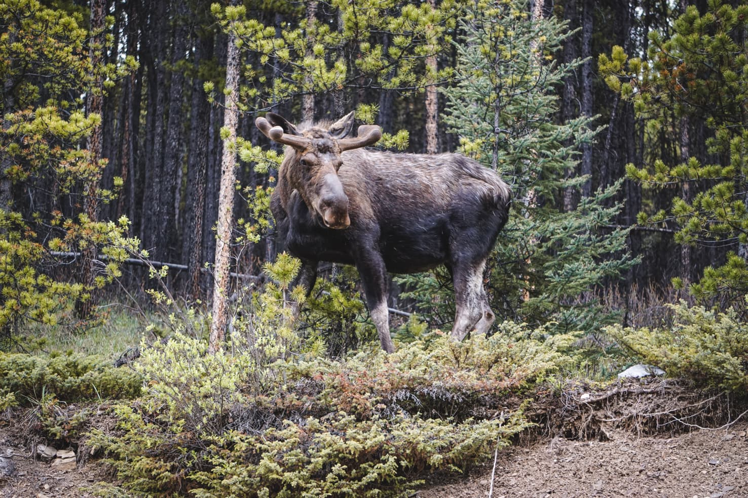 Things to do in Jasper National Park - 43 Watch out for moose