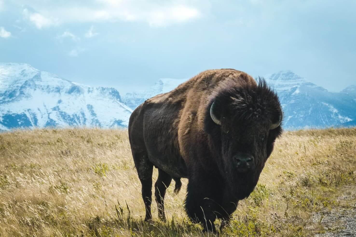 Canadian Rockies road trip itinerary - Bison Paddock Loop near Waterton Lakes National Park