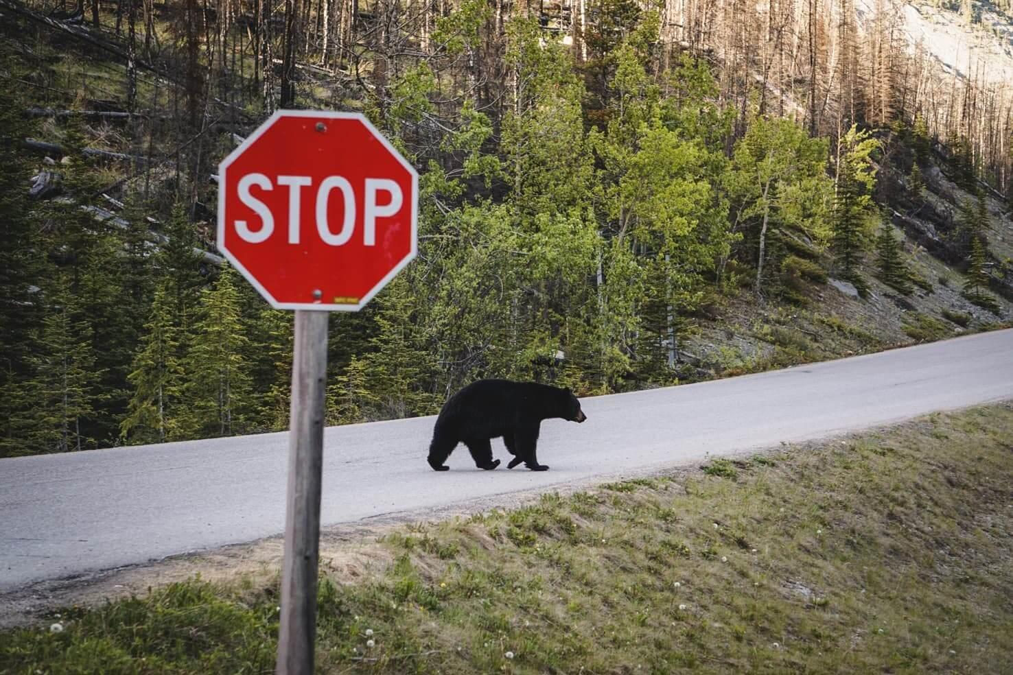 Canadian Rockies road trip itinerary - Bleack Bear in Jasper National Park