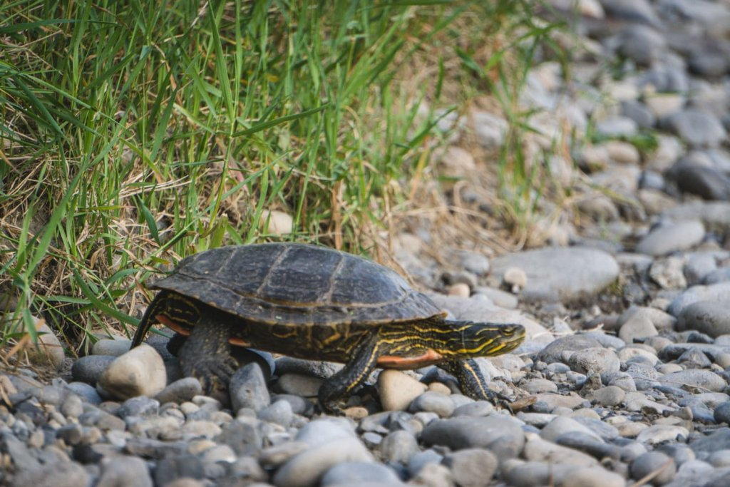 Things to do in Fernie, BC - 14 Look for Painted Turtles-2