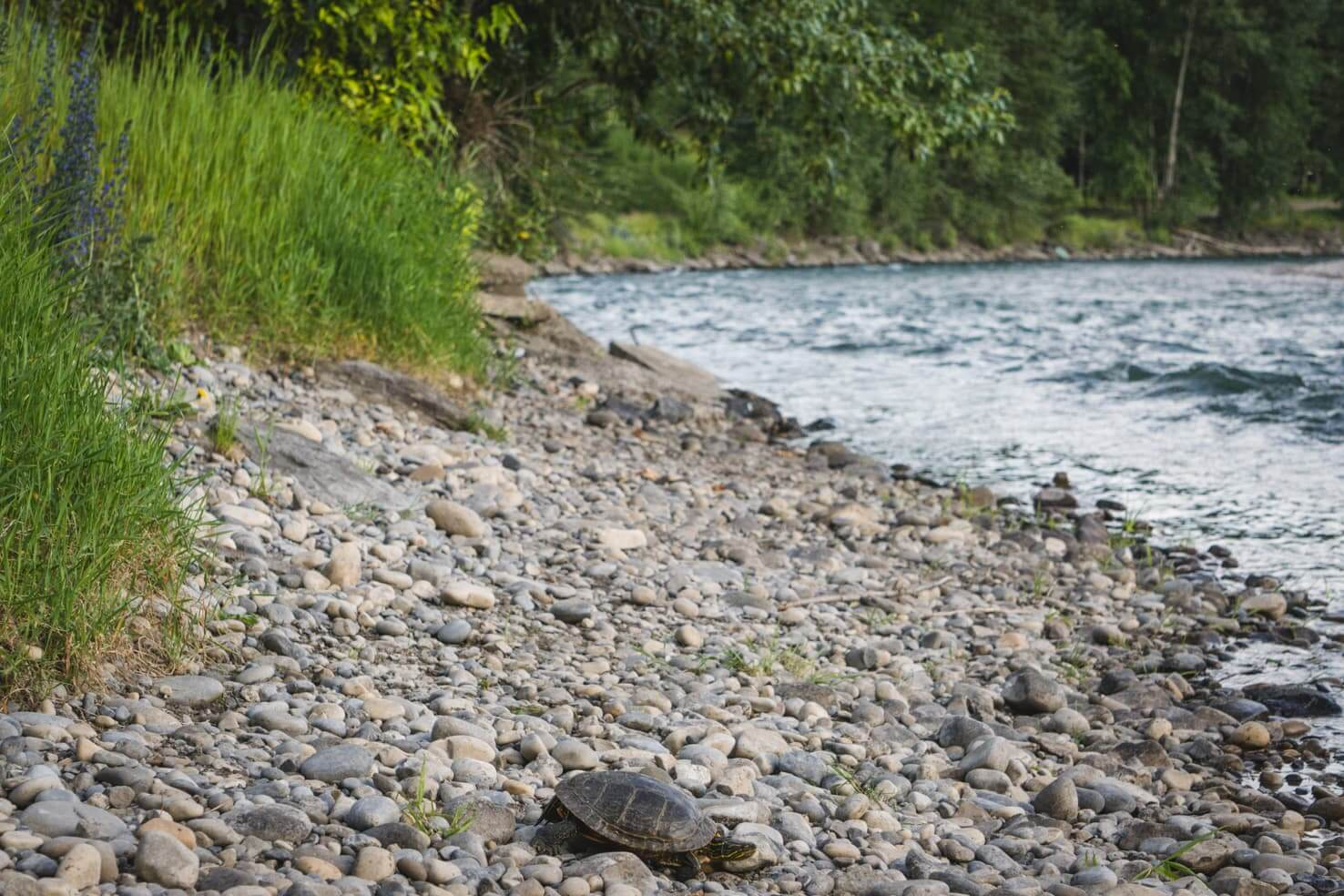 Things to do in Fernie, BC - 14 Look for Painted Turtles