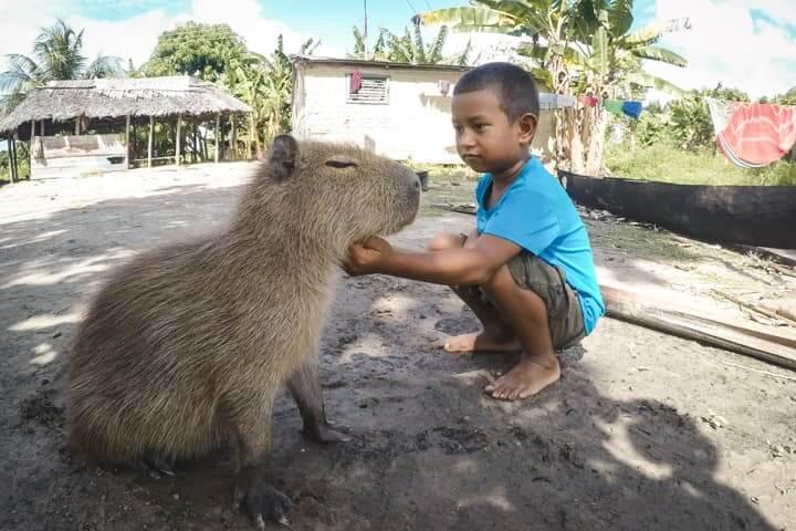 Capibara at Orinoco Delta, Venezuela